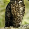 great-horned-owl-perch